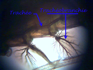 tracheobranchie1.jpg